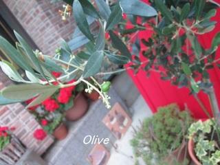 olivedesu.jpg